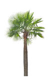 Wax palm(Copernicia Alba)Palm tree. Royalty Free Stock Photo