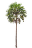 Wax palm(Copernicia Alba)Palm tree Stock Photography