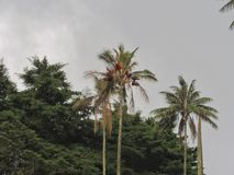 Wax palm in salento Quindio Colombia Royalty Free Stock Photo