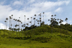 Wax Palm Tree, Colombia Stock Photo