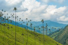 Wax palm trees of Cocora Valley, Colombia Stock Images