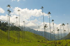 Wax palm trees of Cocora Valley, colombia. South America royalty free stock photo