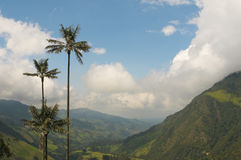 Wax palm trees of Cocora Valley, colombia Royalty Free Stock Image