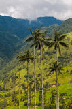 Wax palm trees of Cocora Valley, Colombia Stock Photography