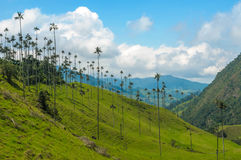 Wax palm trees of Cocora Valley, Colombia Stock Photos