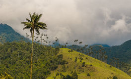 Wax palm trees of Cocora Valley, Colombia Royalty Free Stock Images