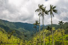 Wax palm trees of Cocora Valley, Colombia Royalty Free Stock Photography