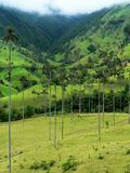 Wax palm trees, salento, colombia Royalty Free Stock Image