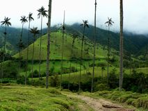 Wax palm trees, salento, colombia Stock Photography