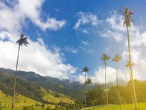 Wax palm trees, valley cocora landscape in colombia - Stock Images
