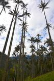 Wax Palms of Cocora Valley near Salento, Colombia. Forest patches of wax palms, Ceroxylon quindiuense line the valley under cloudy skies.  The national tree of stock photos