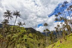 Clouds and mountains. Wax palms rise high into the sky in Tolima, Colombia stock photography