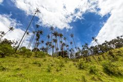 Blue sky in the mountains. Wax palms rising high with blue sky and clouds near Salento, Colombia royalty free stock image