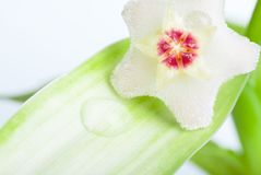 Wax plant Stock Image