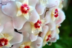 Wax Plant Closeup. Shallow depth of field of a wax plant with sap droplets on flowers, uncommon occurence. Hoya Carnosa royalty free stock photography
