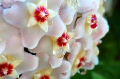 Wax Plant Closeup royalty free stock photography