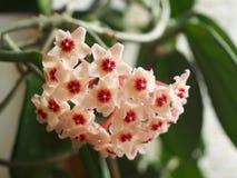 Wax-plant. A wax-plant Hoya arnosa stock photos