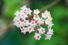 Wax Plant or Wax Flower. (Hoya parasitica (Roxb royalty free stock photo
