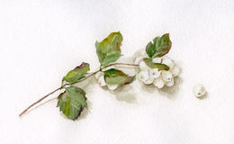 Waxberry watercolor drawing Stock Image