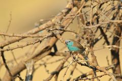 Waxbill azul - fundo selvagem africano do pássaro - belezas escondidas Imagens de Stock
