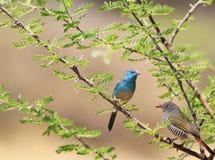 Waxbill, azzurro - sorgente africana Fotografia Stock