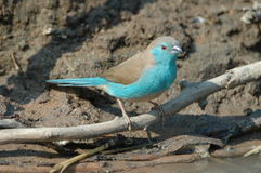 Waxbill bleu Photo stock