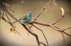 Waxbill bleu Images libres de droits