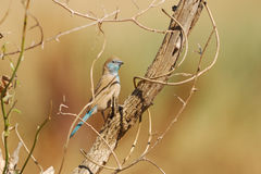 Waxbill bleu (angolensis d'Uraeginthus) Photo libre de droits