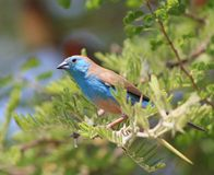 Waxbill bleu - beauté étonnante Photo libre de droits