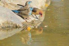 Waxbill bleu et Violet-à oreilles - fond sauvage d'oiseau d'Afrique - réflexion de trio de couleur Photos libres de droits