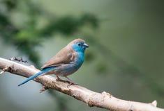 Waxbill blu Fotografia Stock