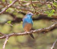 Waxbill blu - vento in piume Fotografie Stock