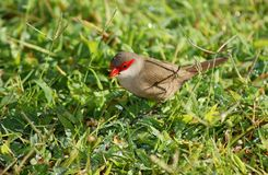 Waxbill commun Images stock