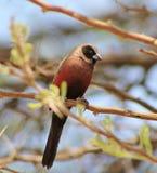 Waxbill, Nero-cheeked - Siesta africano Immagini Stock