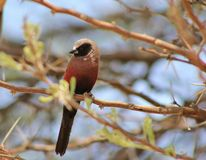 Waxbill som Svart-varas fräck mot - afrikansk fågel Arkivfoto