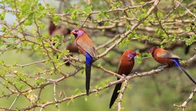 Waxbill, Violet-eared - 3 Brothers Royalty Free Stock Photo