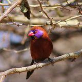 Waxbill, Violeteared - Beauty is Bliss Royalty Free Stock Photo