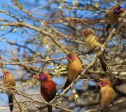 Waxbill, Violeteared - In company of girls Royalty Free Stock Photography