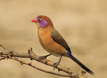 Waxbill, Violeteared - Sleeping Beauty Royalty Free Stock Image