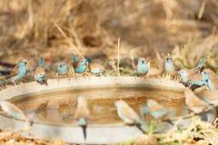Waxbills azul Foto de Stock Royalty Free