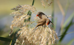 Waxbills picking seeds Royalty Free Stock Image