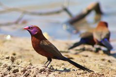 Waxbills, Violeteared - African Colors 2 Royalty Free Stock Image