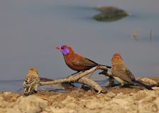 Waxbills, Violeteared - African Colors 4 Royalty Free Stock Photo