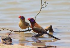 Waxbills, Violeteared - African Gamebirds Royalty Free Stock Photos