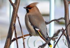 Waxbird Στοκ Εικόνες