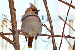 Waxbird Royalty Free Stock Photo
