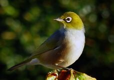 Waxeye or Silvereye.NZ Royalty Free Stock Photography