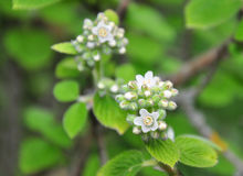 Waxflower Jamesia americana photographie stock libre de droits