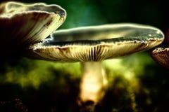 Waxgills rêveur photo stock