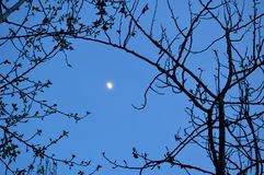 Waxing gibbous moon 2. A waxing gibbous moon, spring time, early evening framed by tree branches in Boise Idaho royalty free stock photo